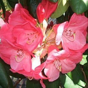 Rhododendron 'Flamingo' - Find Azleas,Camellias,Hydrangea and Rhododendrons at Loder Plants
